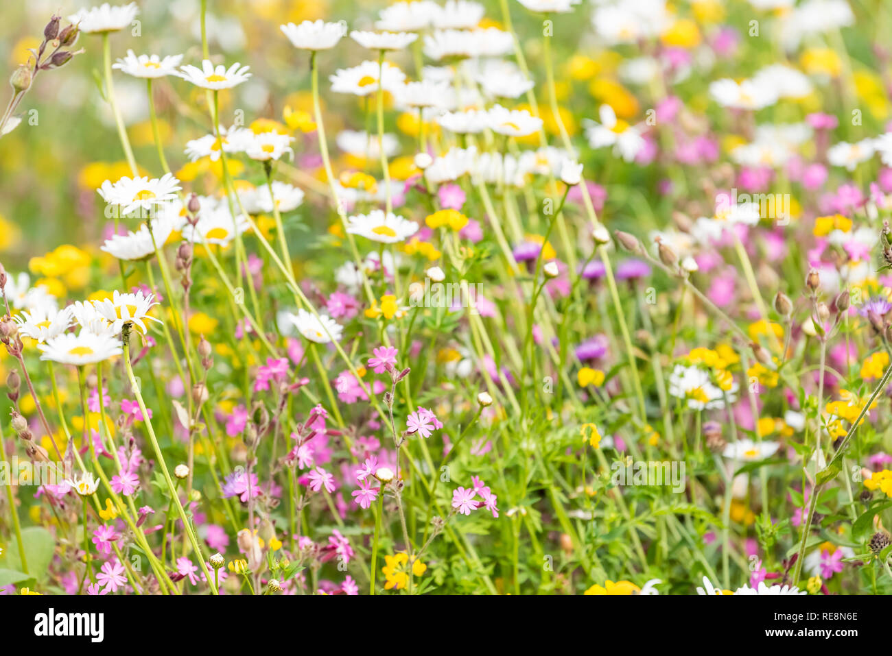 London, UK St James Park green grass weeds with white daisy and purple flowers in summer closeup pattern of bloom - Stock Image