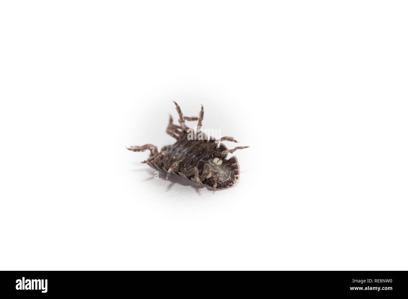 Struggling Pill Bug - Stock Image