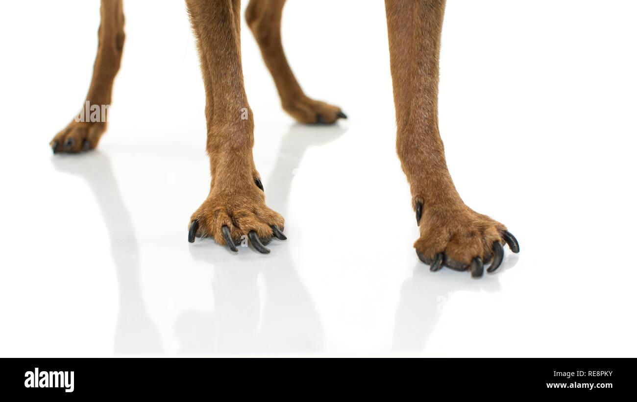 CLOSE-UP LEGS AND PAWS DOG WITH OSTHEOARTHRITIS. ISOLATED SHOT AGAINST WHITE BACKGROUND. - Stock Image