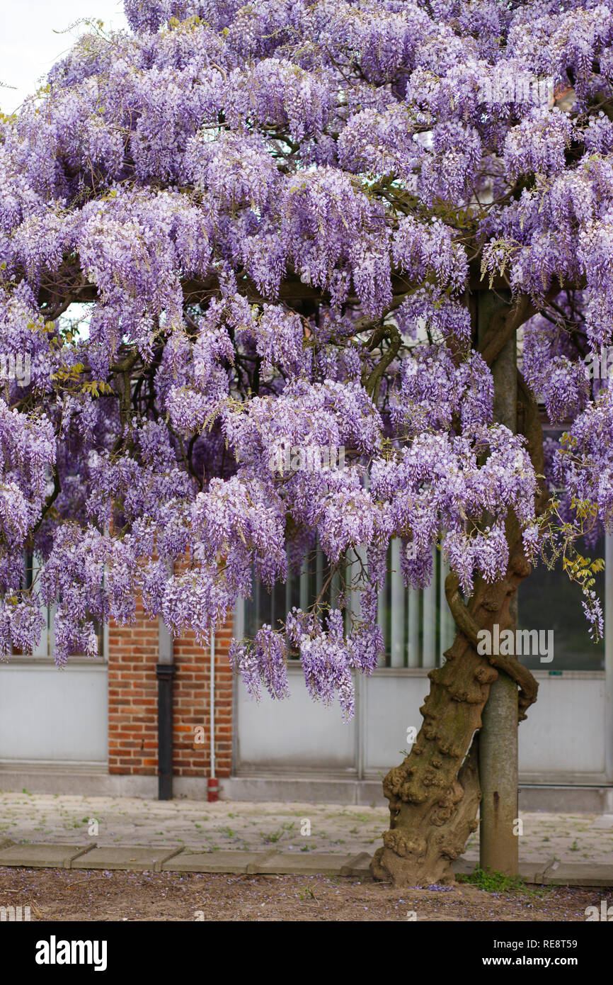 Beautiful Wisteria Tree In The Park Stock Photo 232534549 Alamy