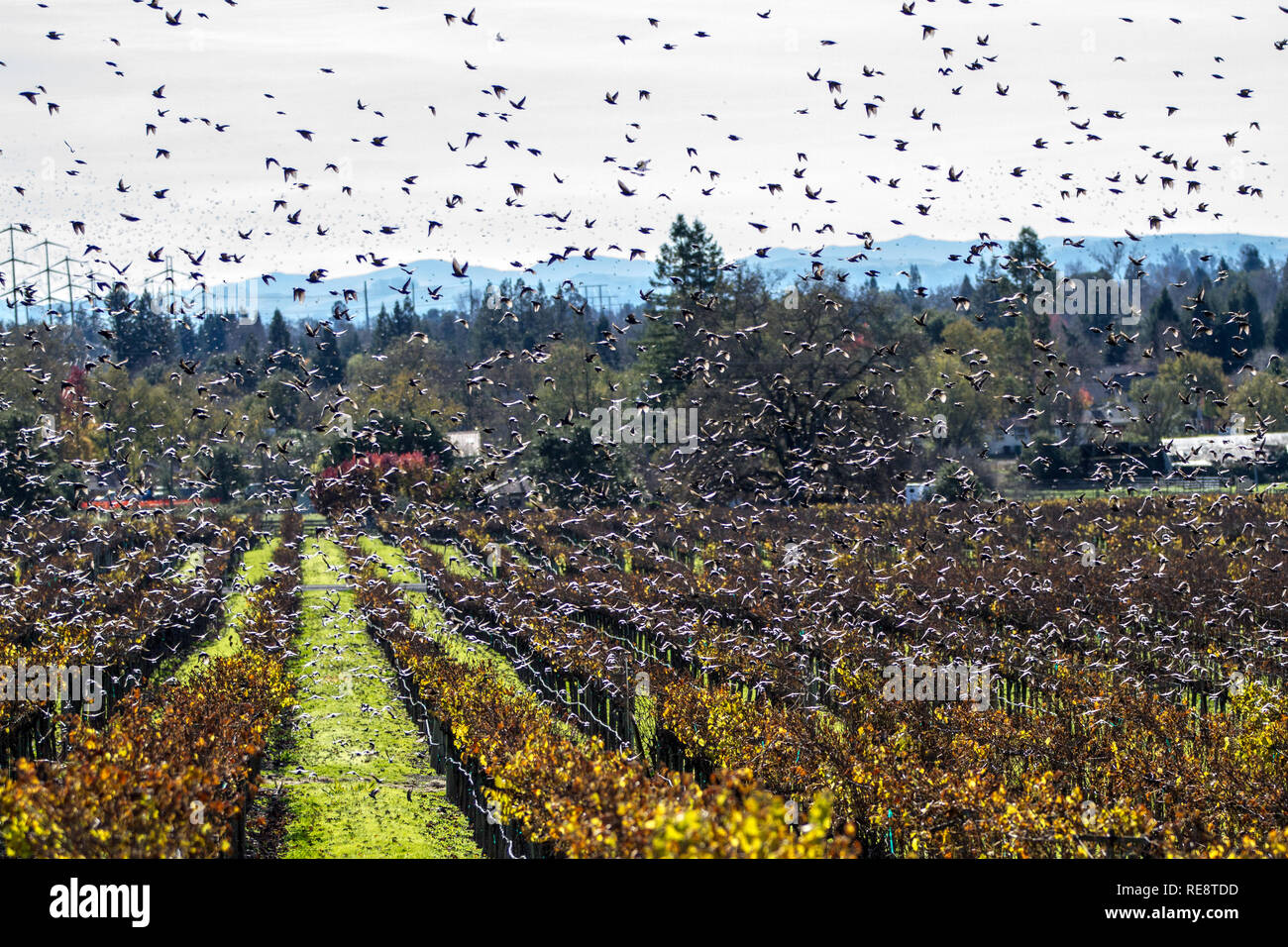 Swarm II - Vaux's swifts fly in a frenzy over a vineyard. Sonoma County, California, USA Stock Photo