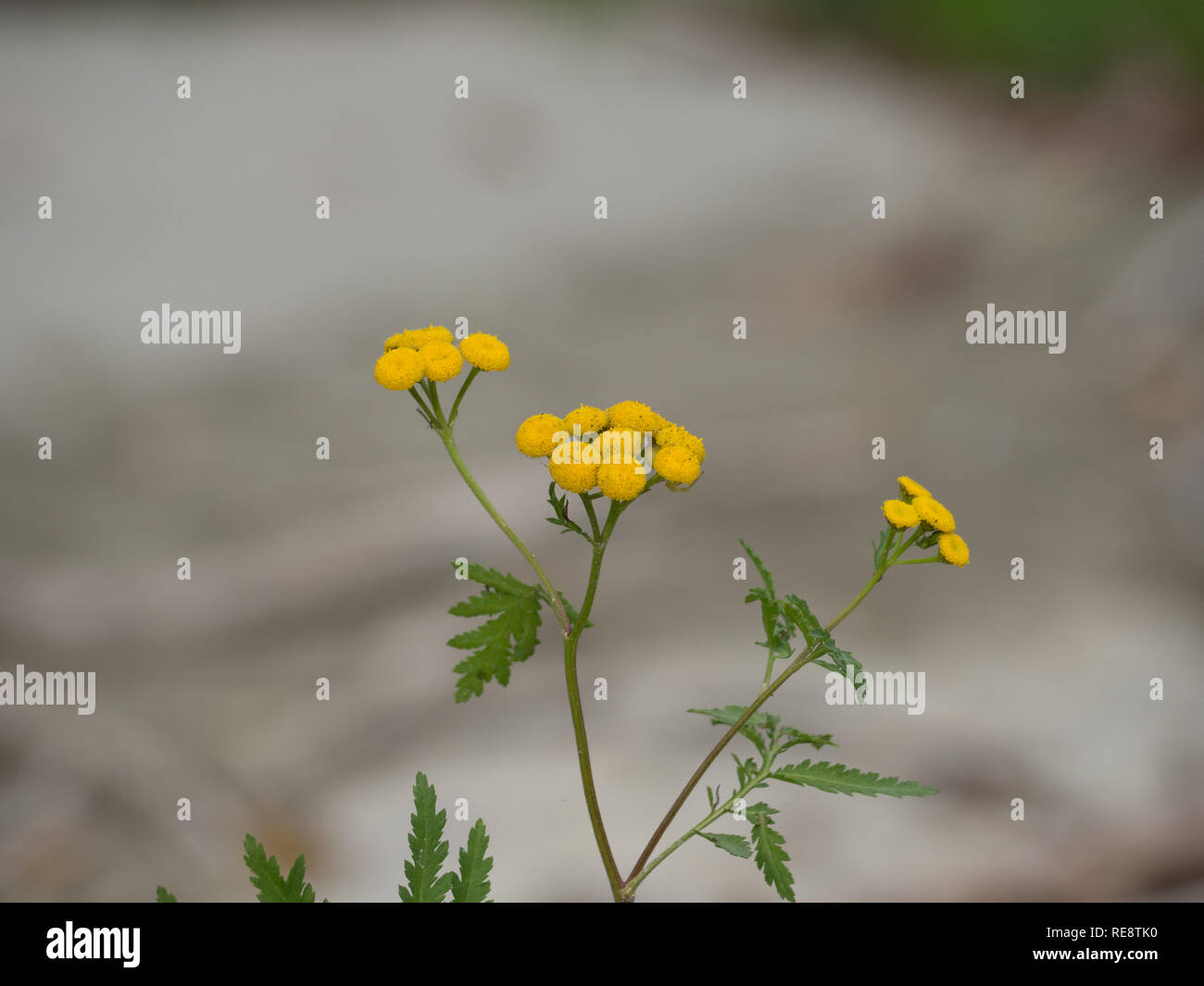 Herb common tansy - Stock Image
