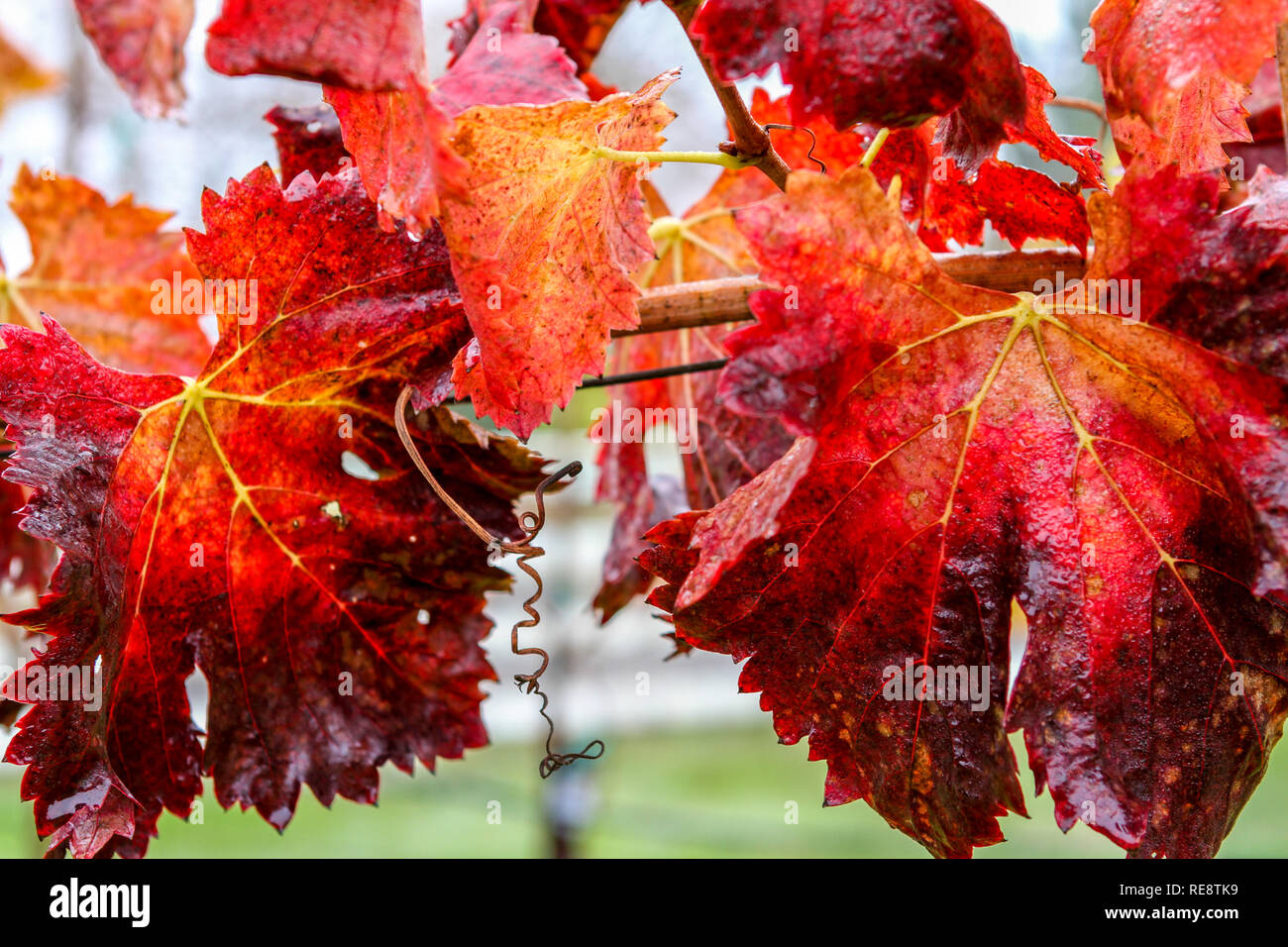 Fire Leaves - Autumn in wine country brings out grape leaves seemingly on fire. Russian River Valley, California, USA - Stock Image
