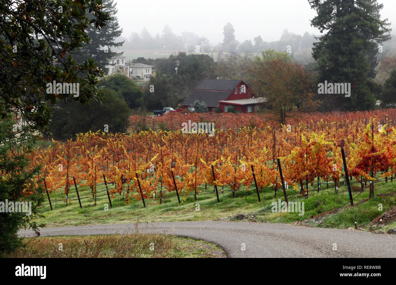 Vineyard on Fire - Vibrant fall colors ignite a small vineyard. Russian River Valley, Sonoma County, California, USA - Stock Image