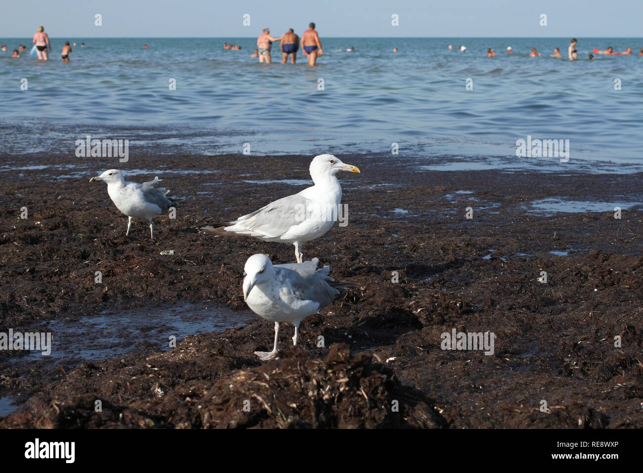 Seagulls walk on dirty from algae shore after storm. Arabat Spit in the Azov Sea. August 2018 - Stock Image