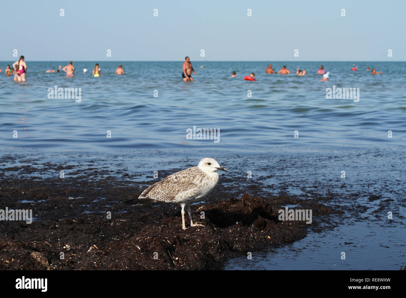 Seagull walk on dirty from algae shore after storm. Arabat Spit in the Azov Sea. August 2018 - Stock Image