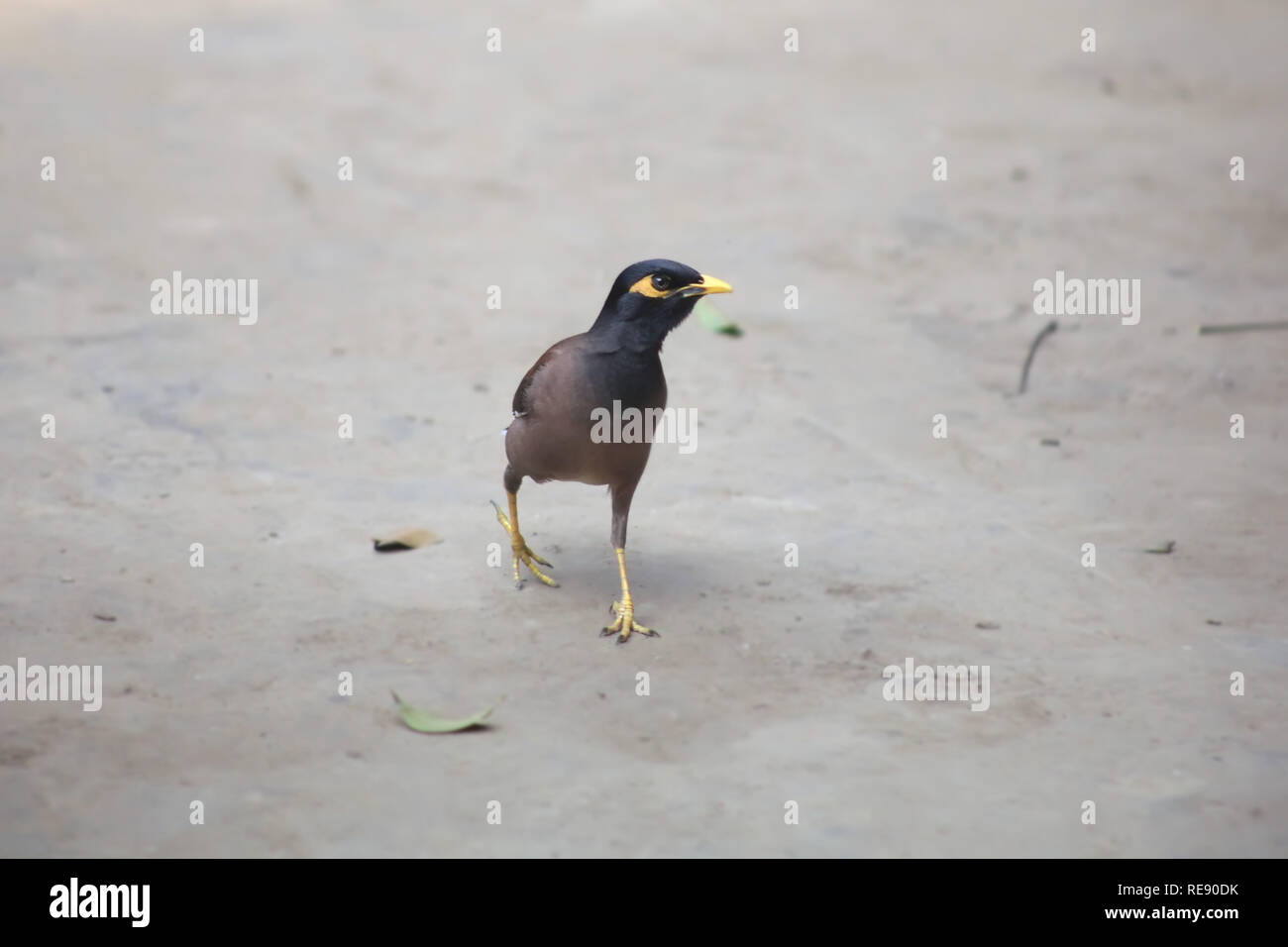 Indian Common Myna - Acridotheres tristis in Soil Front View - Stock Image