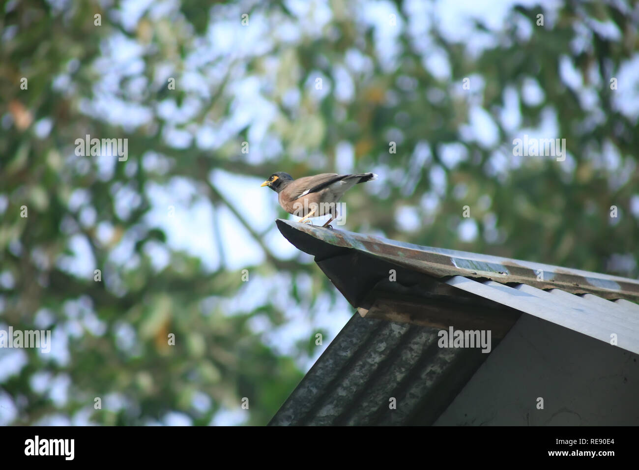 common myna, Acridotheres tristis Indian Brown Bird - Stock Image