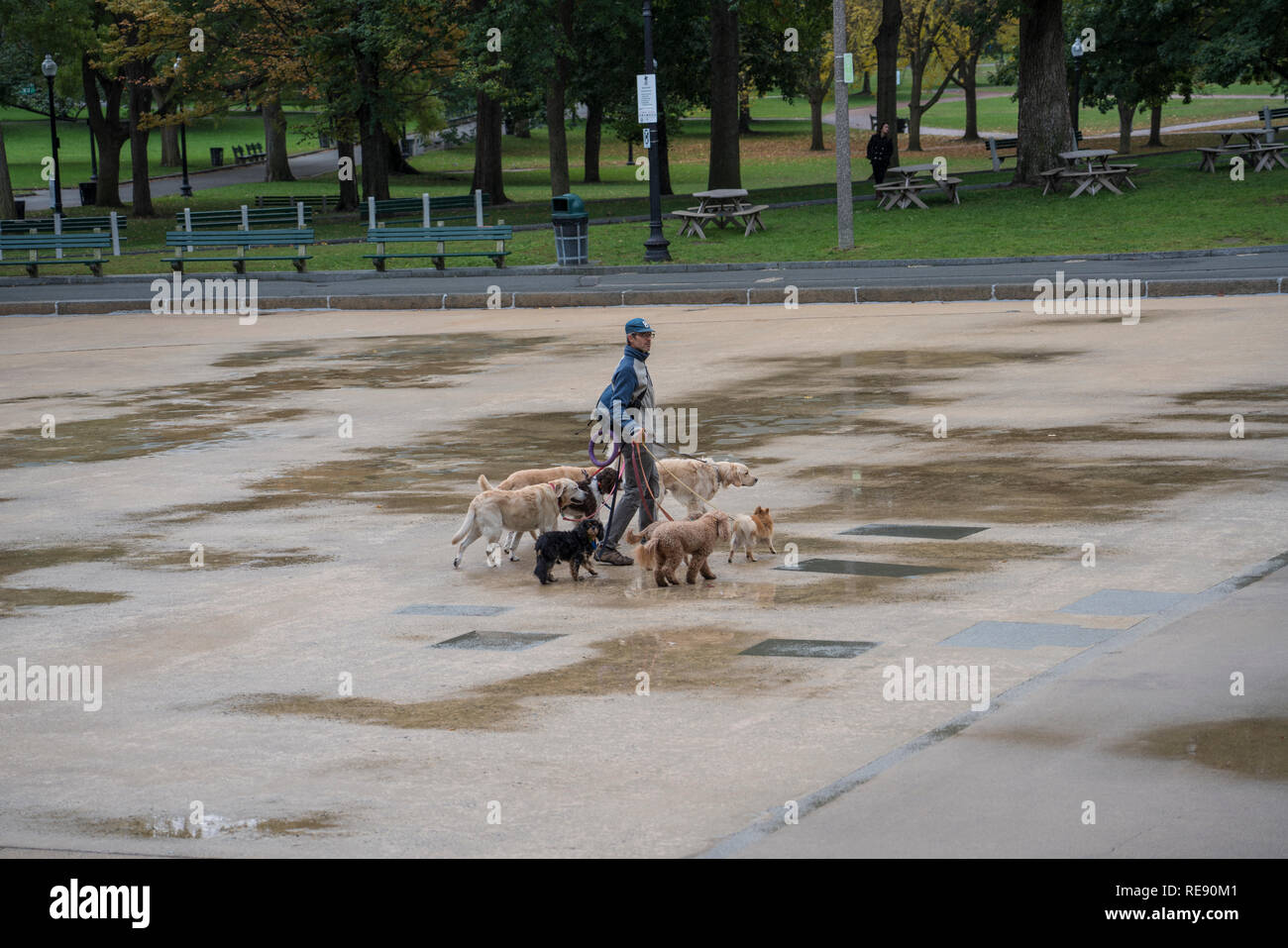 Boston, Massachusetts - October 25, 2018 - Dog walker with six dogs in park - Stock Image