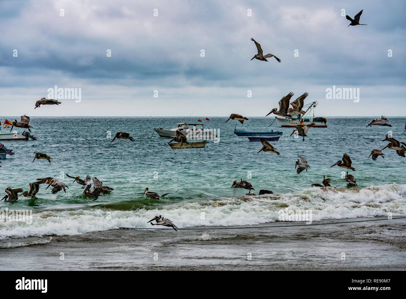 Puerto Lopez, Ecuador - September 12, 2018 - pelicans and frigate birds swarm over fishing boats dumping ofal at the end of a day - Stock Image