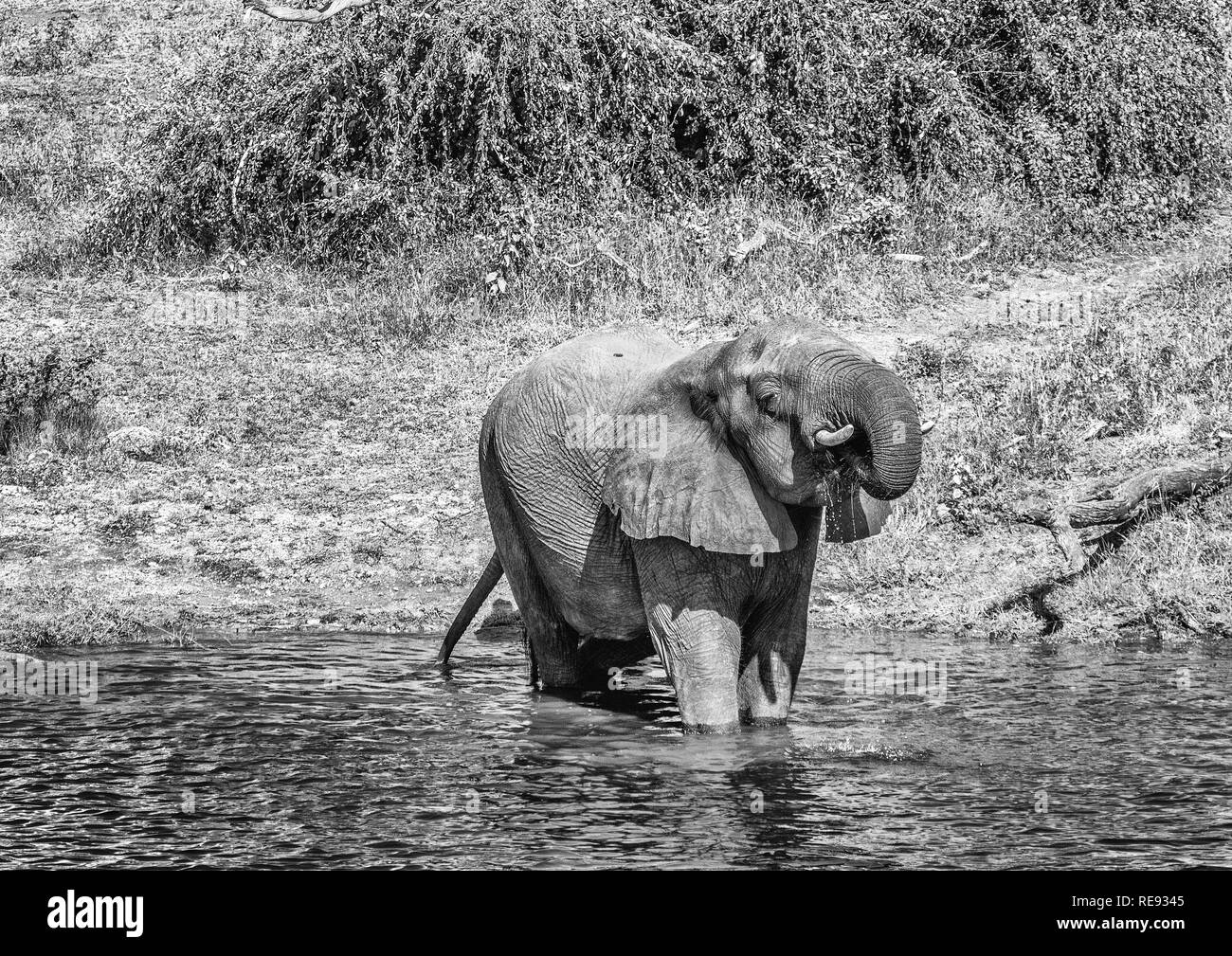 Elephants bathing and playing in the water of the chobe river in Botswana during summer - Stock Image