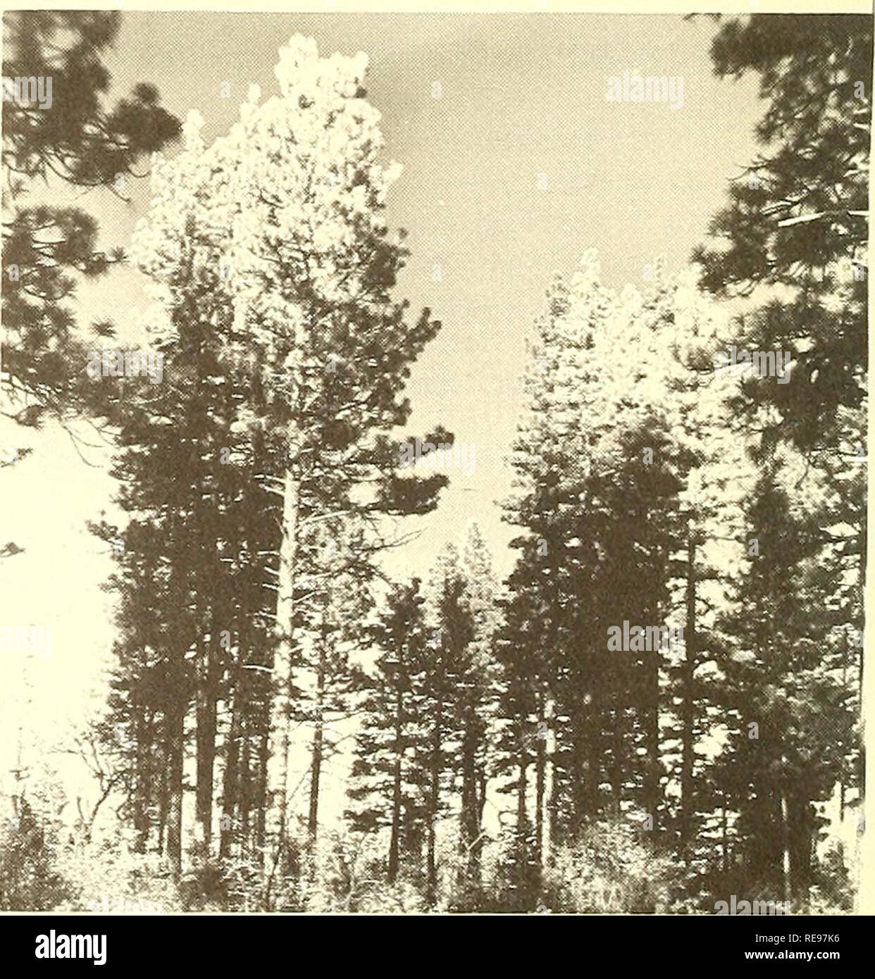 . Cooperative economic insect report. Beneficial insects; Insect pests. - 1010 also occurred on seme 150,000 acres in parts of Shasta and Lassen Counties. In southern California, many Coulter pines were killed at several locations; in River- side County, groups of 90 or more trees were killed late in the season. In some places outbreaks were sparked by forest fires where beetle broods de- veloped in scorched trees; in others they developed in trees struck by lightning. Warm, dry weather during winter and early spring favored bettle broods in all areas. Mountain Pine Beetle Infestations Most Ab - Stock Image