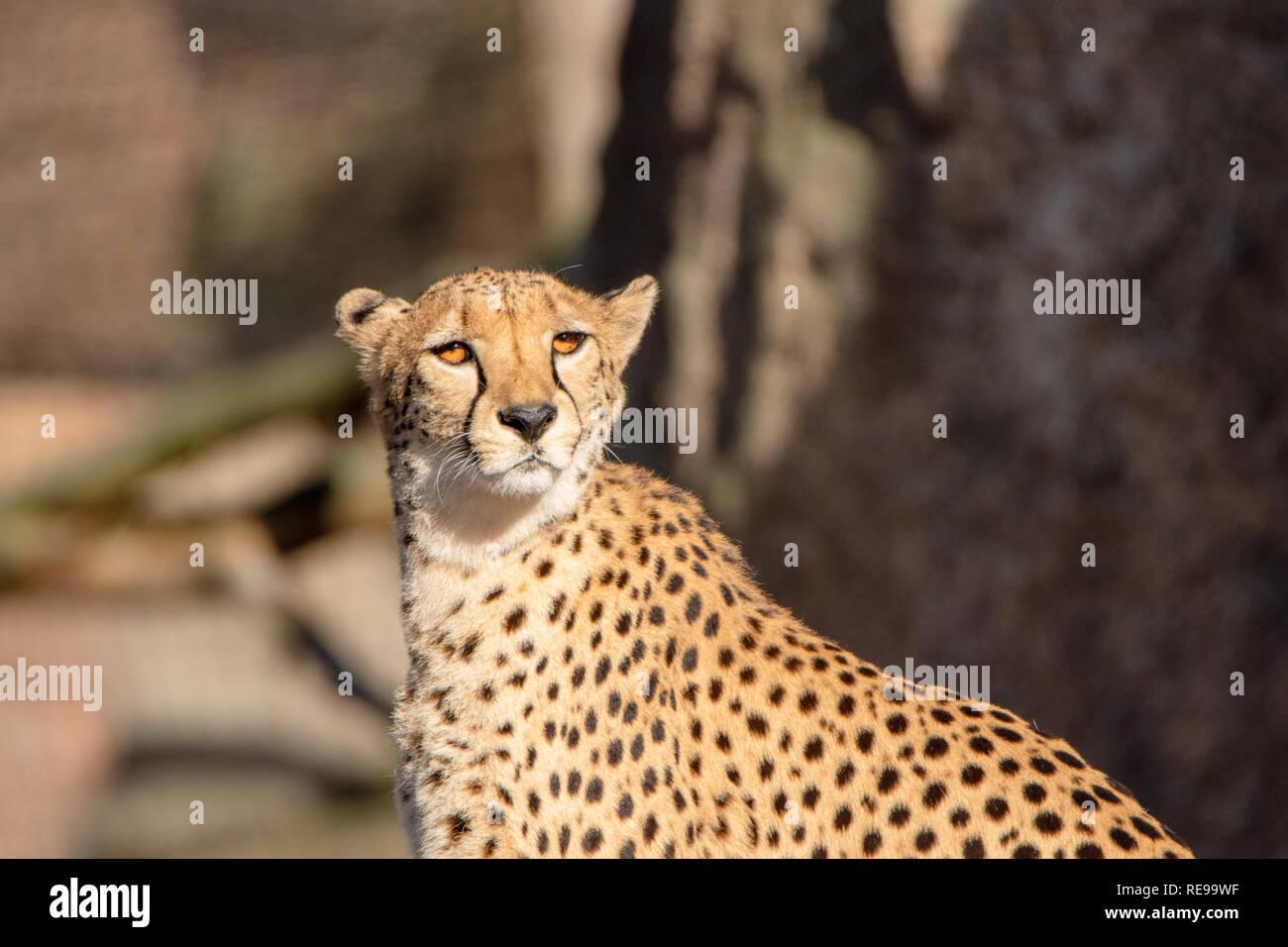 Cheetah in the wild nature Stock Photo