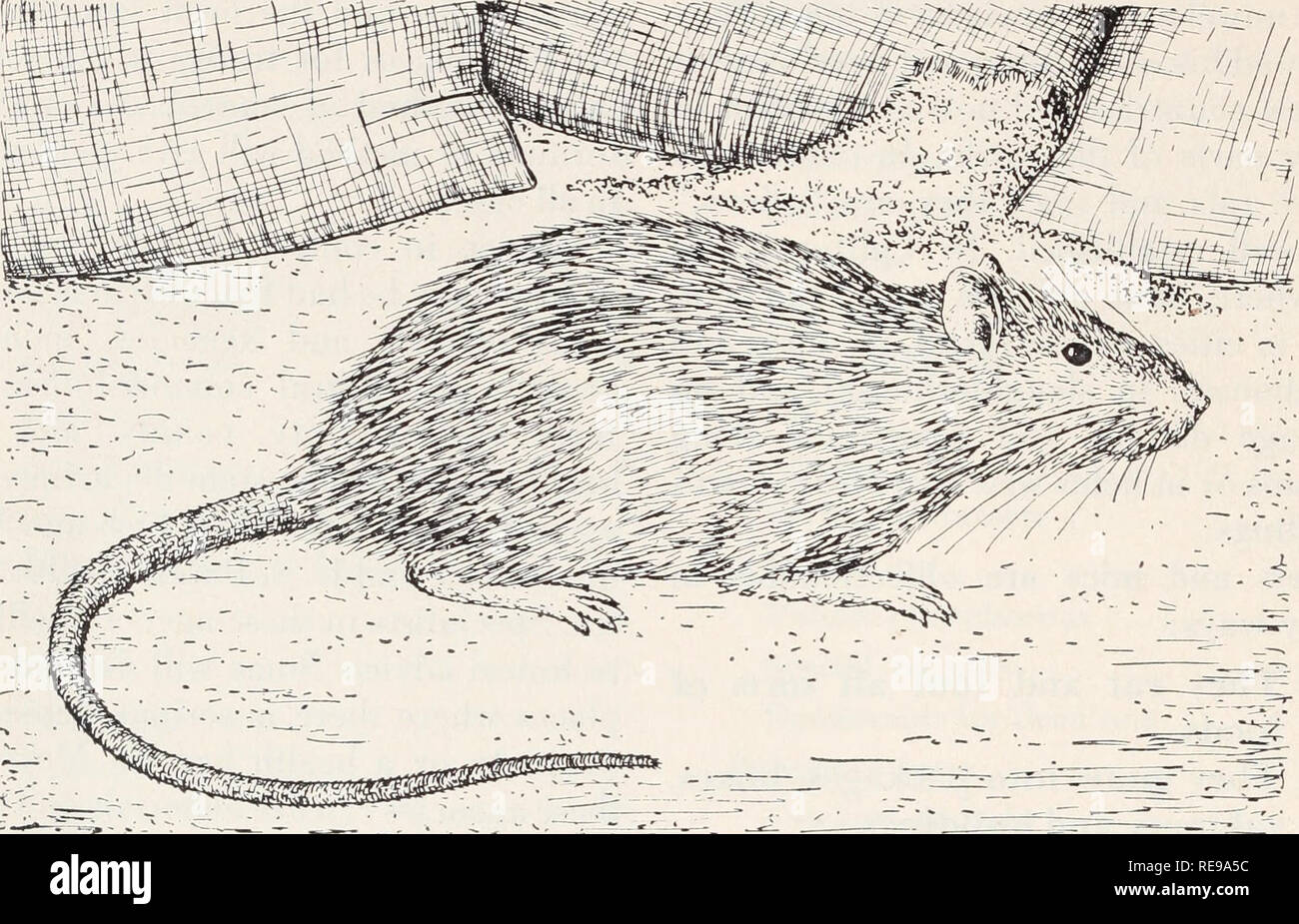 Control of rats and mice  Rats