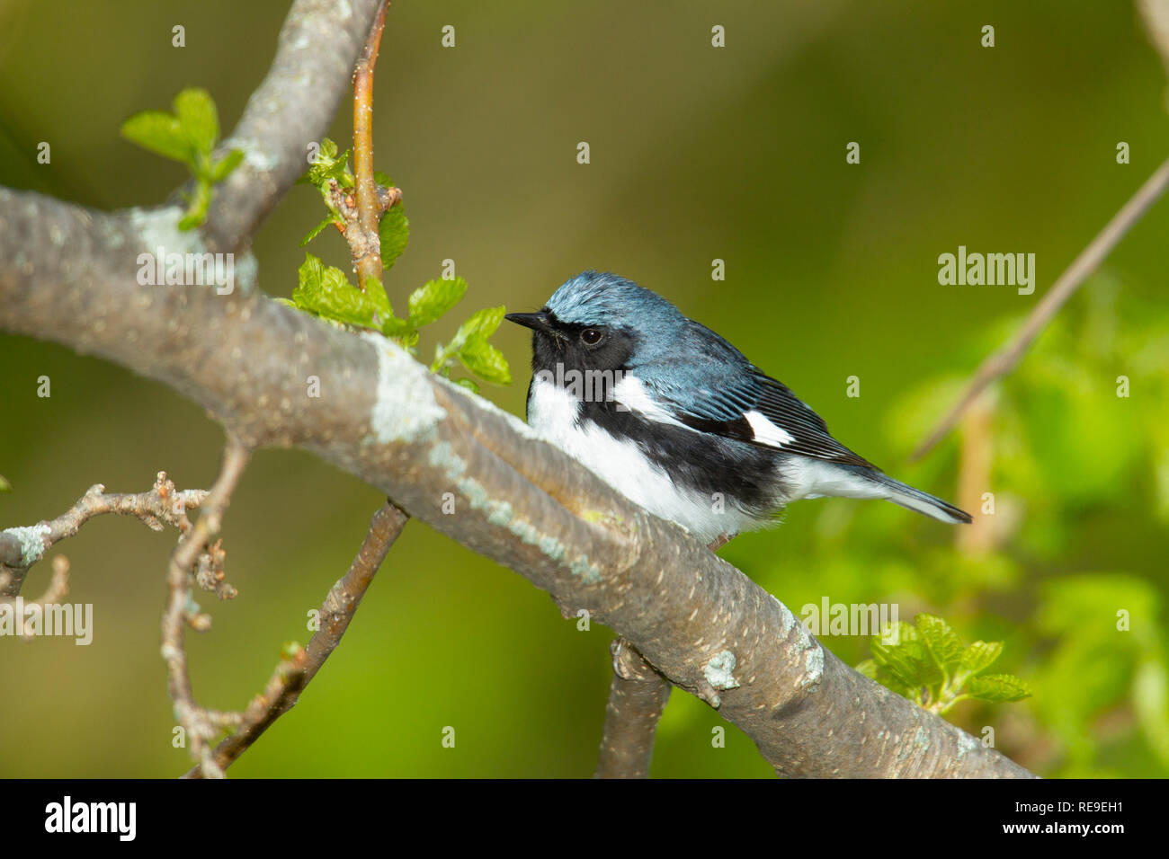 Black-throated Blue Warbler (Dendroica caerulescens), male, breeding plumage - Stock Image