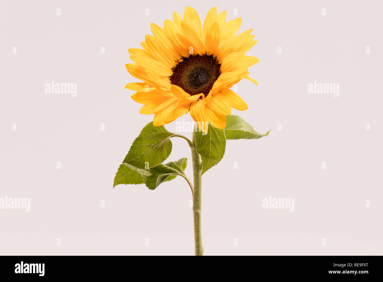 Summer Flower, Sun Flower - Stock Image