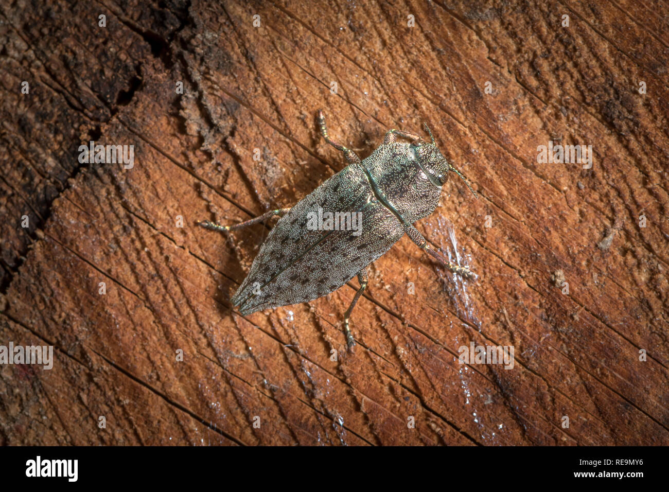 A big shiny beautiful jewel beetle (Dicerca alni, Buprestidae) sitting on wood - Stock Image