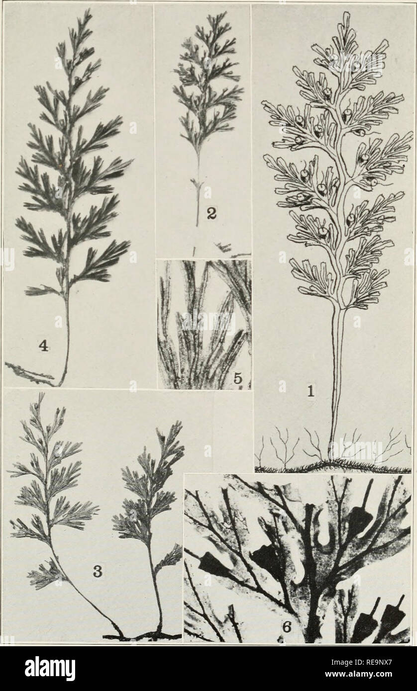 . Contributions from the New York Botanical Garden. Plants. Bull. Torrey Club Volume 42, plate 30. TRICHOMANES PYXIDIFERUM L.. Please note that these images are extracted from scanned page images that may have been digitally enhanced for readability - coloration and appearance of these illustrations may not perfectly resemble the original work.. New York Botanical Garden. New York : The Garden - Stock Image