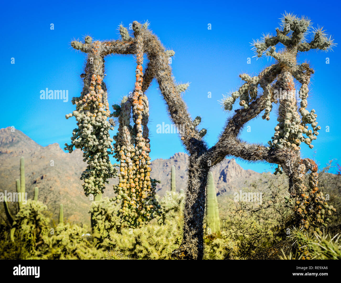 Hanging chain fruit from cholla cactus in the Sabino Canyon Recreation Area in the Santa Catalina Mountains near Tucson, AZ - Stock Image