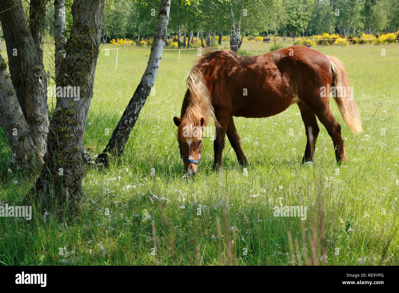 Pferde laufen über die Felder in den Sanddünen, einem Naturschutzgebiet in Baden-Baden Sandweier Stock Photo