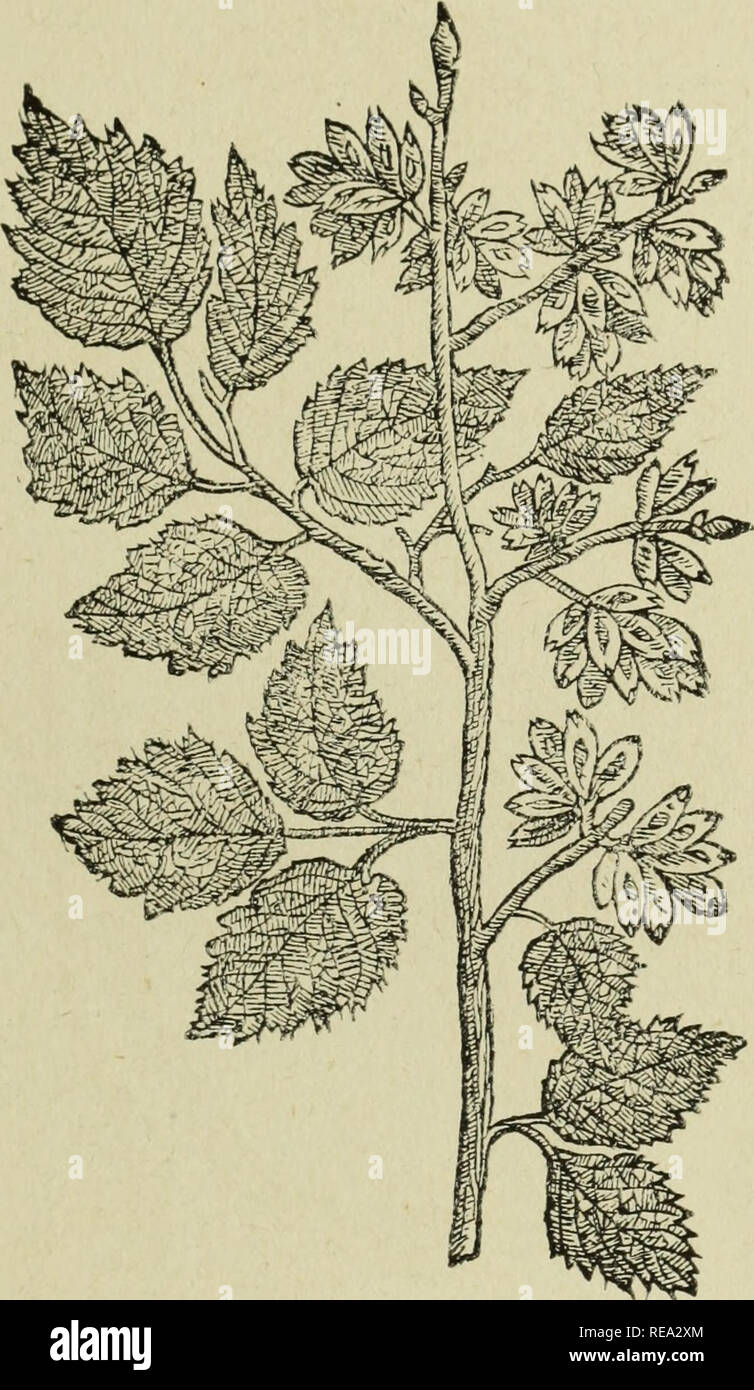 . Early British botanists and their gardens. Botany; Botanists; Botany; Plants, Cultivated. ELMS 41 Wych Elm. Ulinus montana Stokes. Vlmus folio latissimo scabro. Witch Hasell, or the broadest leaved Elme. This grovveth to be a very great tree, and also very high, especially when he groweth in woods amongst other trees: the barke on the outside is blacker than that of the first, and is also very rough, so that when there is plenty of sap it will strip or. The Wych Elm.^ peele from the v/ood of the boughes from the one end to the other, a dozen foot in length or more, without breaking, whereof  - Stock Image