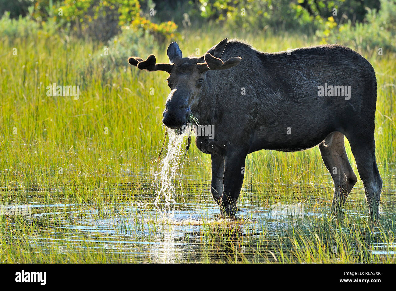 """A bull moose """"Alces alces"""",feeding on some water plants in the warm spring light in Jasper National Park Alberta Canada. Stock Photo"""