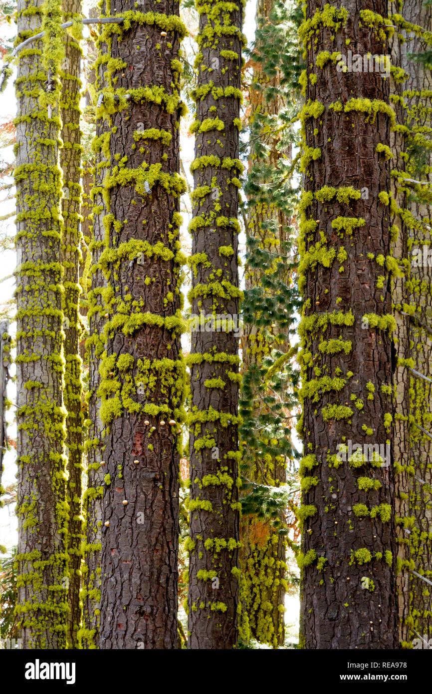 Moss Rings - Clumps of moss encircle tree trunks. Lassen Volcanic National Park, California, USA - Stock Image
