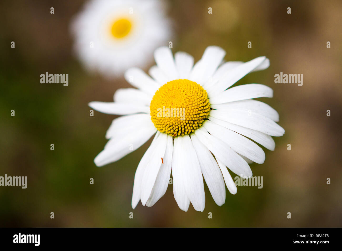 Dazzling Daisies! - Wild daisies brighten tired hikers' spirits along the Slab Camp Trail. Olympic National Forest, Sequim, Washington, USA - Stock Image