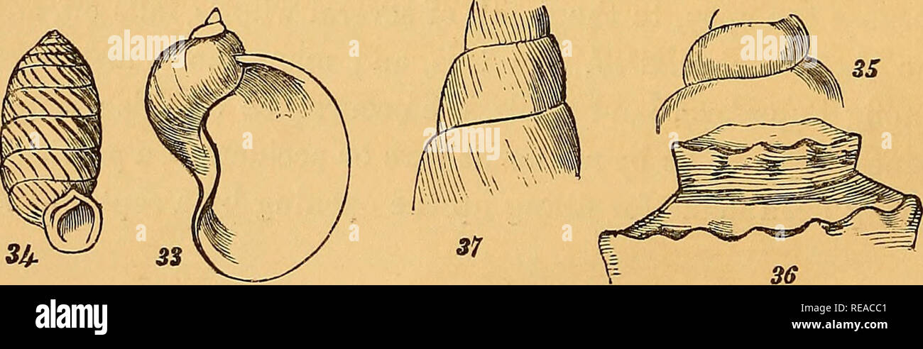 . A conchological manual. Shells. 22 INTRODUCTION. papillary apex is one which is swelled at the extremity into a litttle rounded knob, or nipple; and a mammellated apex is one which is rounded out more fully. Whorls. The spire is described as consisting of numerous or few whorlsj and sometimes the number of them is particularly stated. A whorl consists of one turn of the spiral cone. The whorls are described as flattened, when their sides are not much bulged out: when the contrary is the case, the whorls are said to be ventricose, and either rounded or angulated. The degree of rapidity with w - Stock Image