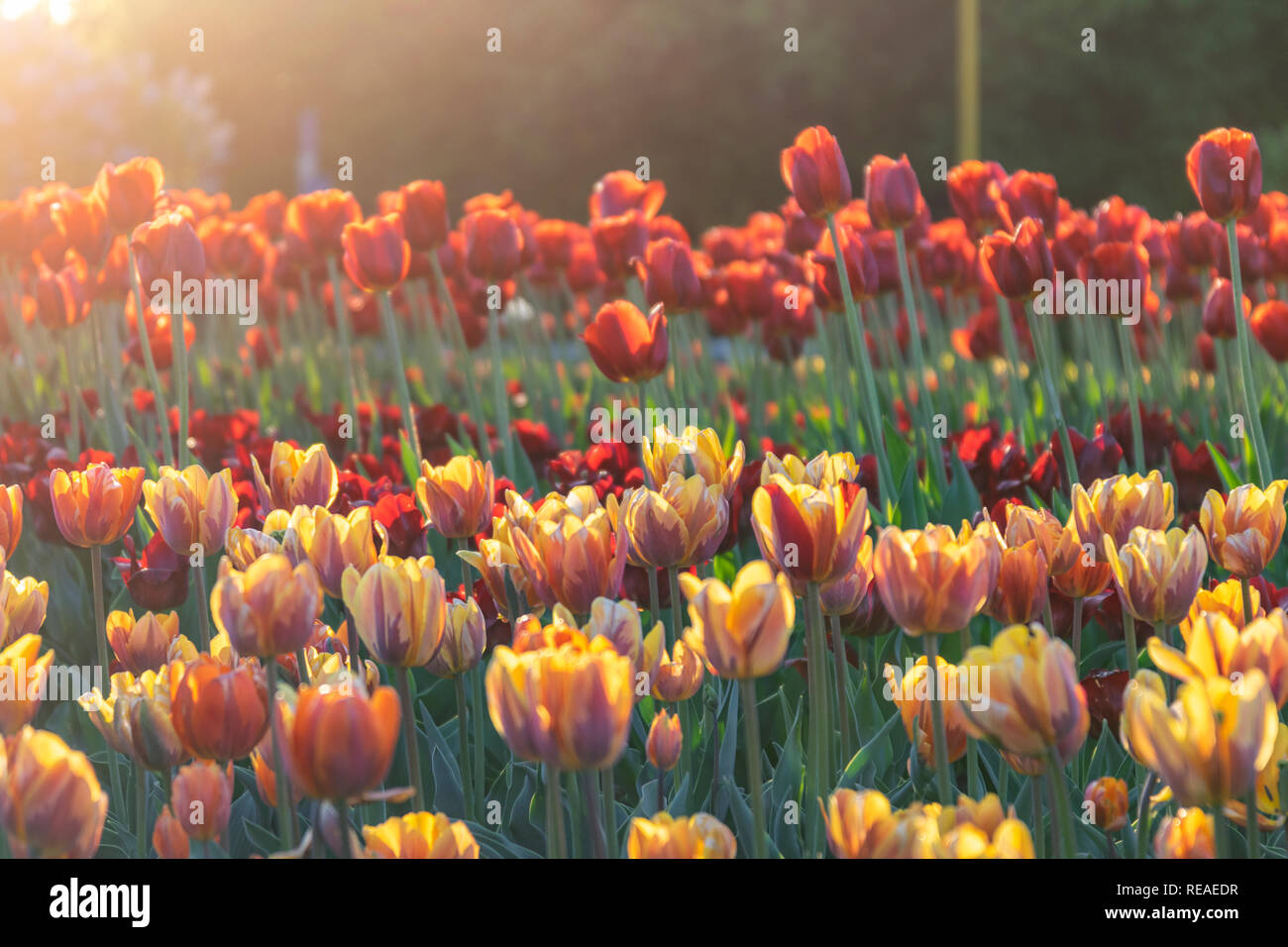 Tulip flower bulb field in the garden, Spring season in Amsterdam Netherlands Stock Photo