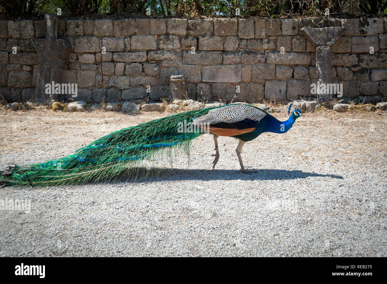 Peacock strolling along stone wall during summer day. Monastery of Filerimos gardens and surroundings apparently become a natural habitat for peacock. Stock Photo