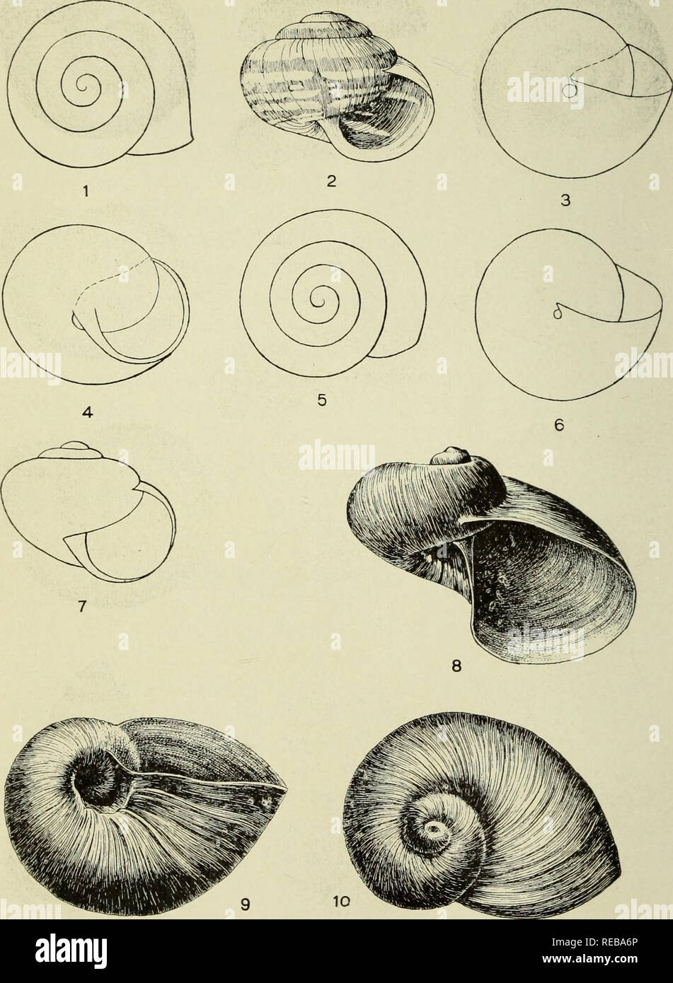 """. The Conchologists' exchange. Mollusks. THE NAUTILUS, XXXIl. PLATE VI. 1-4. PRATICOLELLA CAMP! CLAPP & FERRISS. X5. 5-7. """" GRLSEOLA PFR,. YOUNG. X5. 8-10. STYLOBATES yENEUS DALL. SLIGHTLY OVER Vi NAT. SIZE.. Please note that these images are extracted from scanned page images that may have been digitally enhanced for readability - coloration and appearance of these illustrations may not perfectly resemble the original work.. Averell, William D. Philadelphia, Wm. D. Averell Stock Photo"""