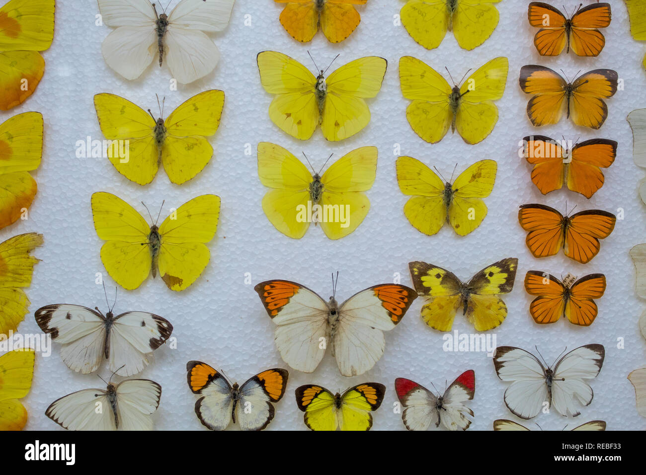 An entomological collection of yellow and orange butterflies pinned on a styrofoam base. Stock Photo