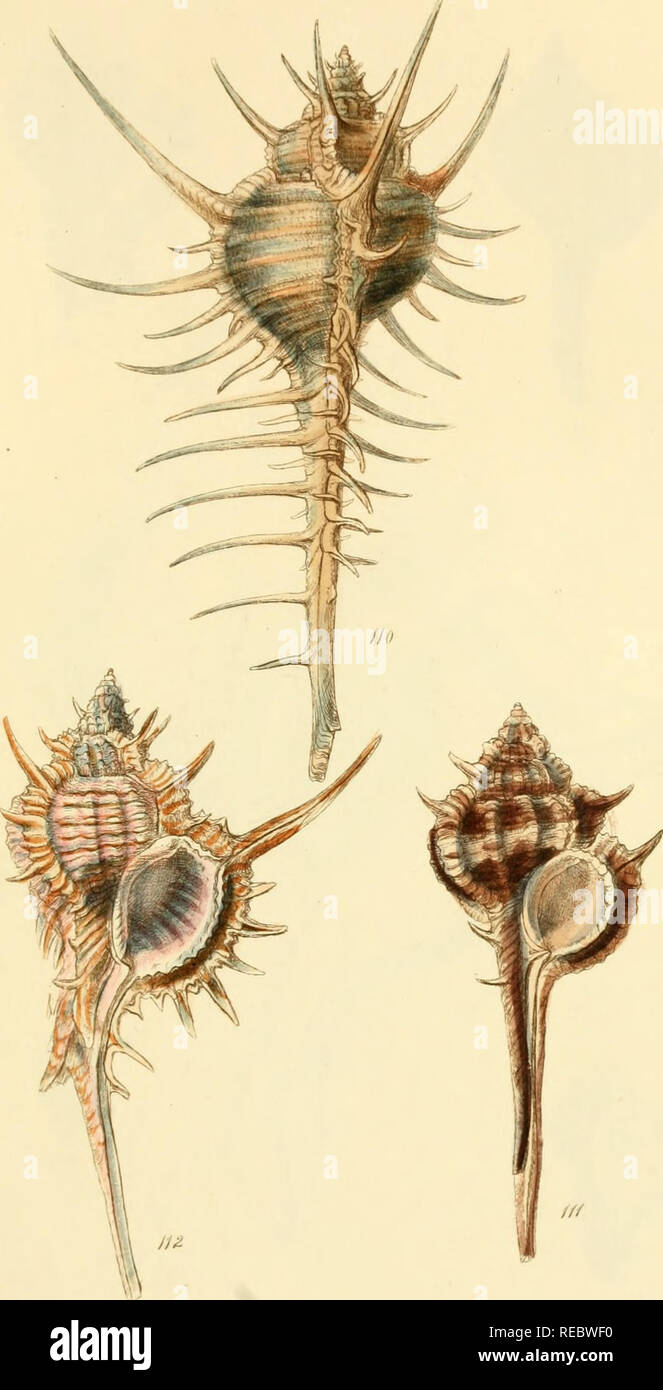 . The conchological illustrations. Shells; Shells. J^^UffC^X. Please note that these images are extracted from scanned page images that may have been digitally enhanced for readability - coloration and appearance of these illustrations may not perfectly resemble the original work.. Sowerby, G. B. (George Brettingham), 1812-1884; Sowerby, George Brettingham, 1788-1854. London : Sowerby - Stock Image