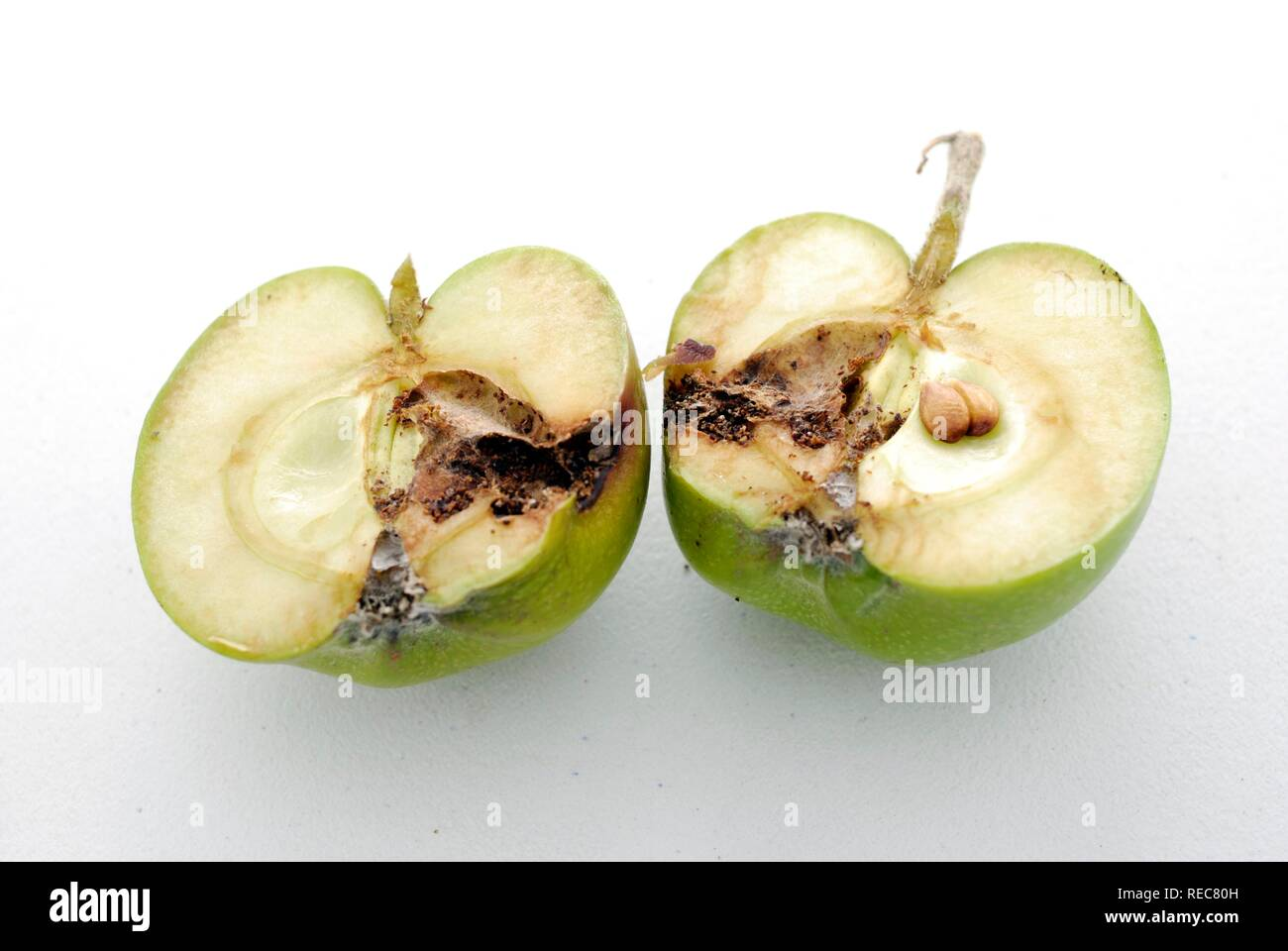 Codling moth damage shown in cross section of an affected apple - Stock Image