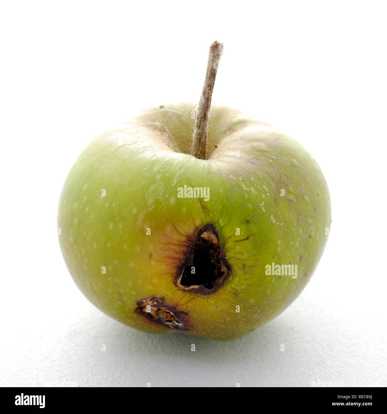 Codling moth pest affected apple - Stock Image