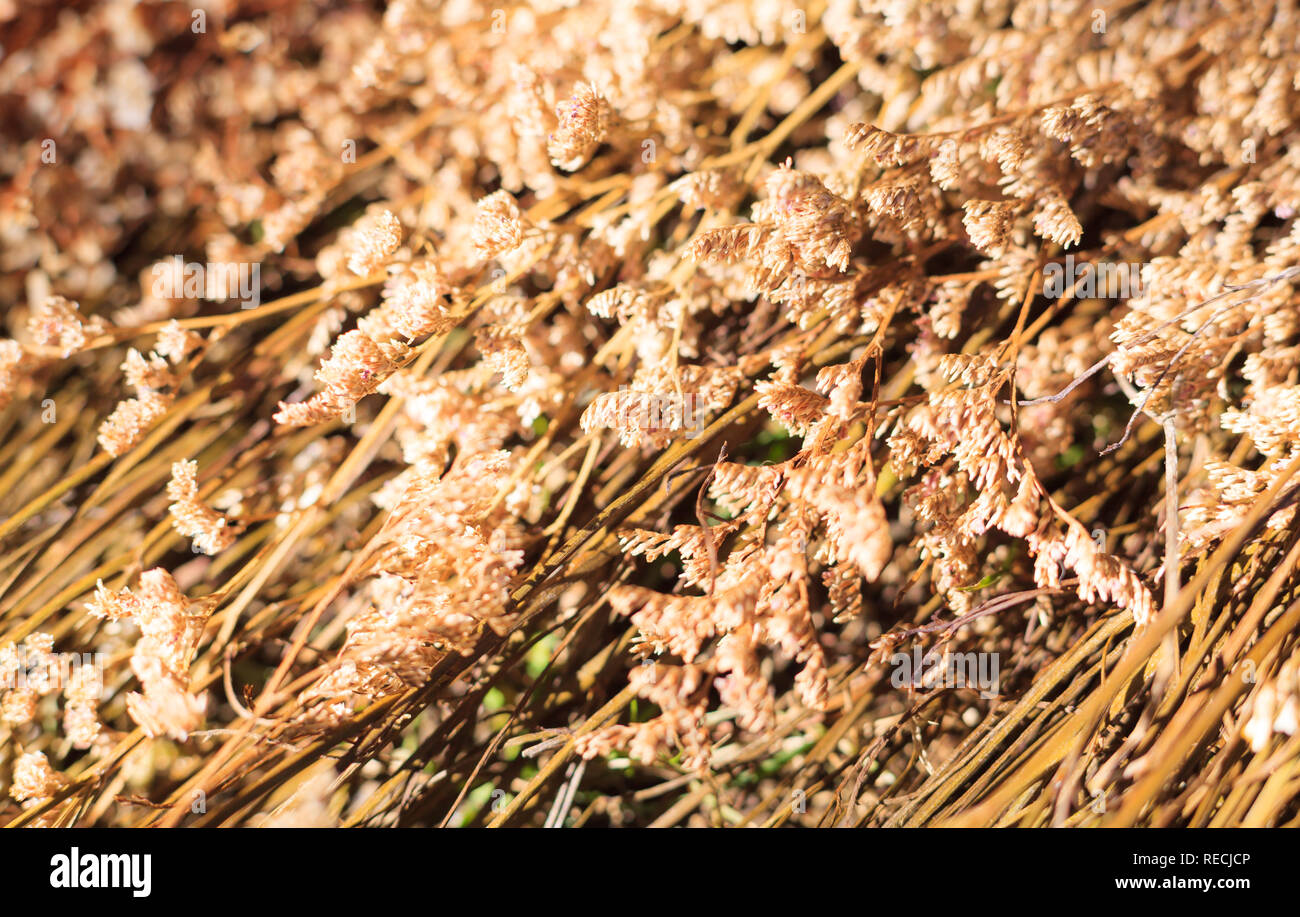 Dried golden Limonium (sea lavender, statice, caspia, marsh rosemary) wildflowers, Natural Wildflowers Background. Florist, Floral bouquet, vase arran - Stock Image