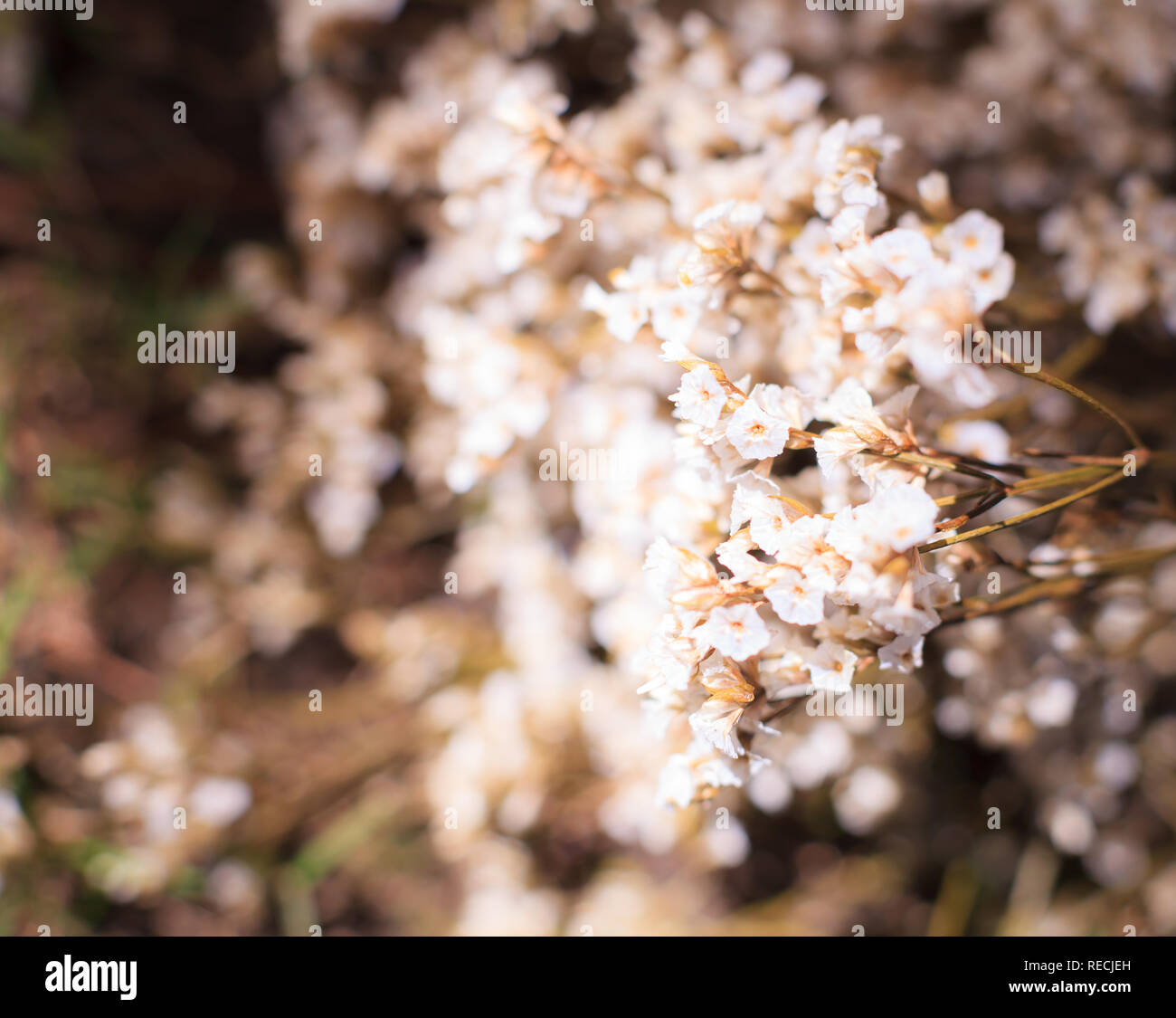 White Innocent Airy Limonium (sea lavender, statice, caspia, marsh rosemary) Flowers, Natural Wildflower Background. Florist, Floral bouquet, vase arr - Stock Image