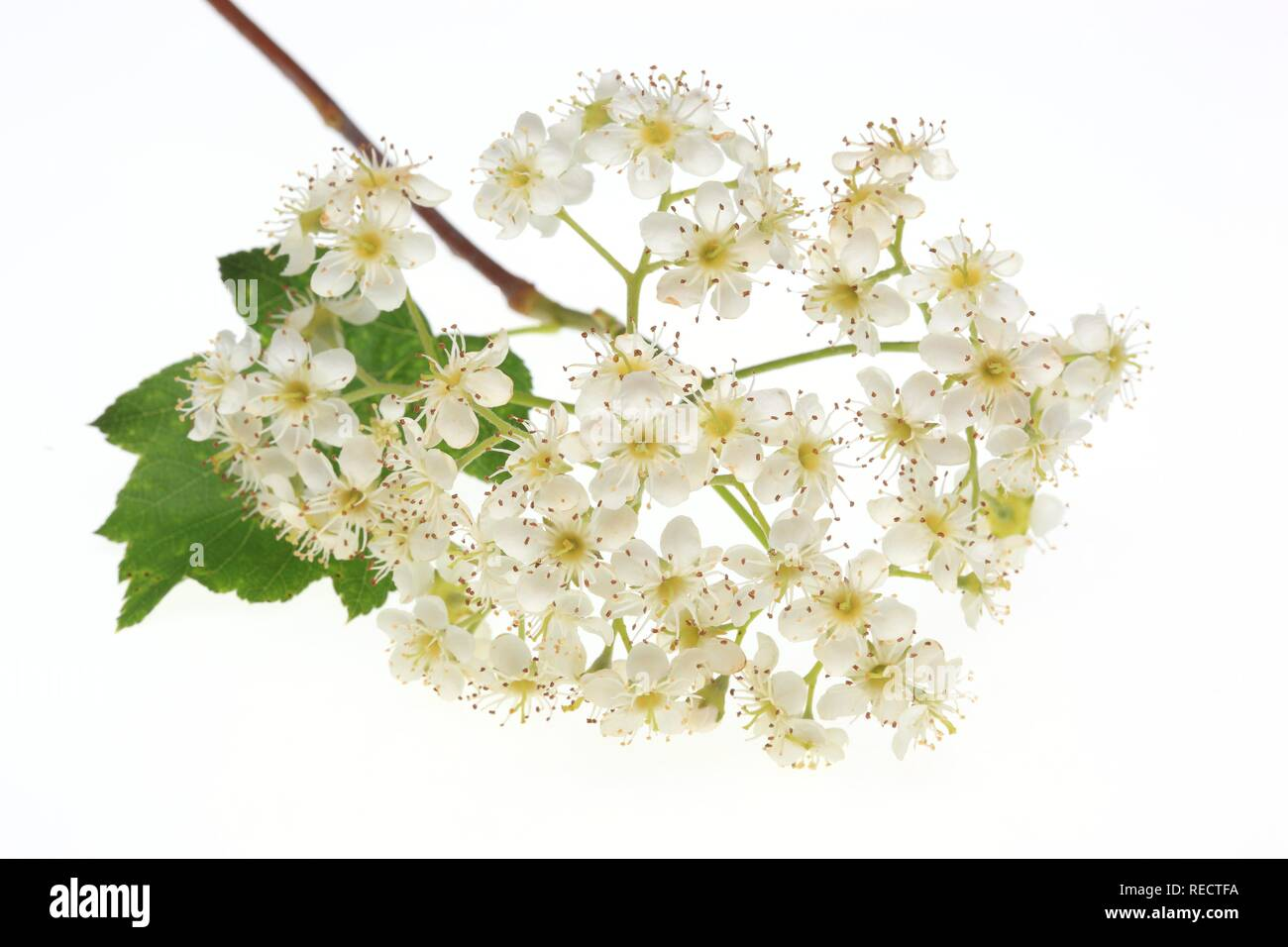 Blossoms of the tree Wild Service Tree, Chequer Tree or Checkers Tree (Sorbus torminalis) Stock Photo