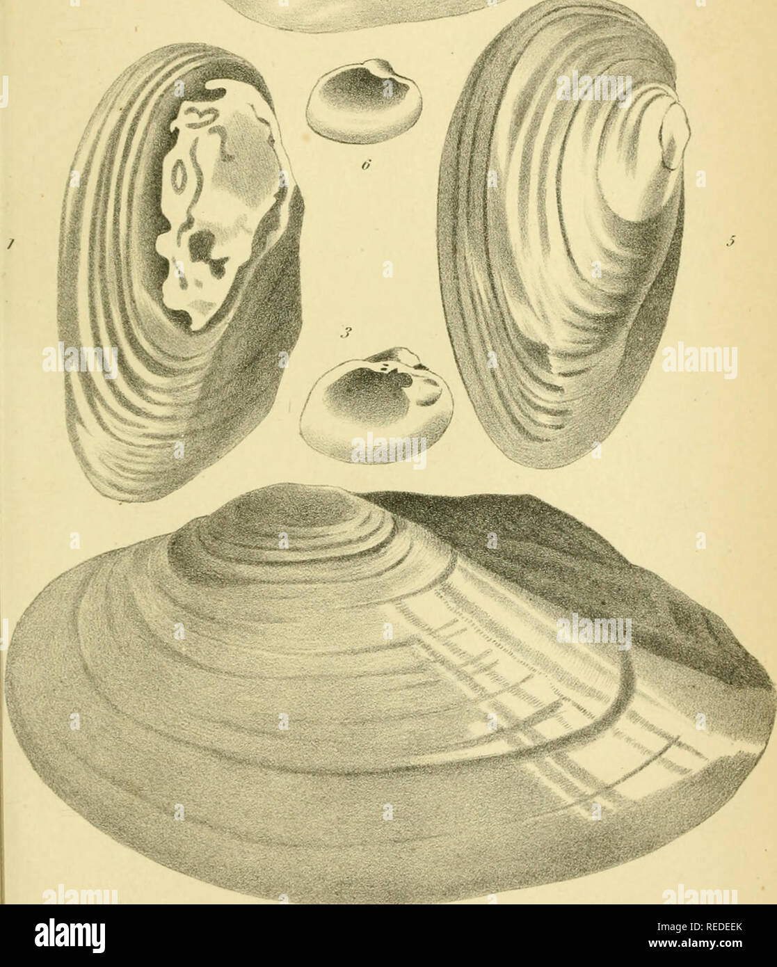 . The complete writings of Thomas Say, on the conchology of the United States. Mollusks. 5^5^. j T.Snydil.]i'iclwlsony /^ru:r./'I..J. I'fu: simile. .. Please note that these images are extracted from scanned page images that may have been digitally enhanced for readability - coloration and appearance of these illustrations may not perfectly resemble the original work.. Say, Thomas, 1787-1834; Binney, W. G. (William Greene), 1833-1909. New York : H. Baillière - Stock Image