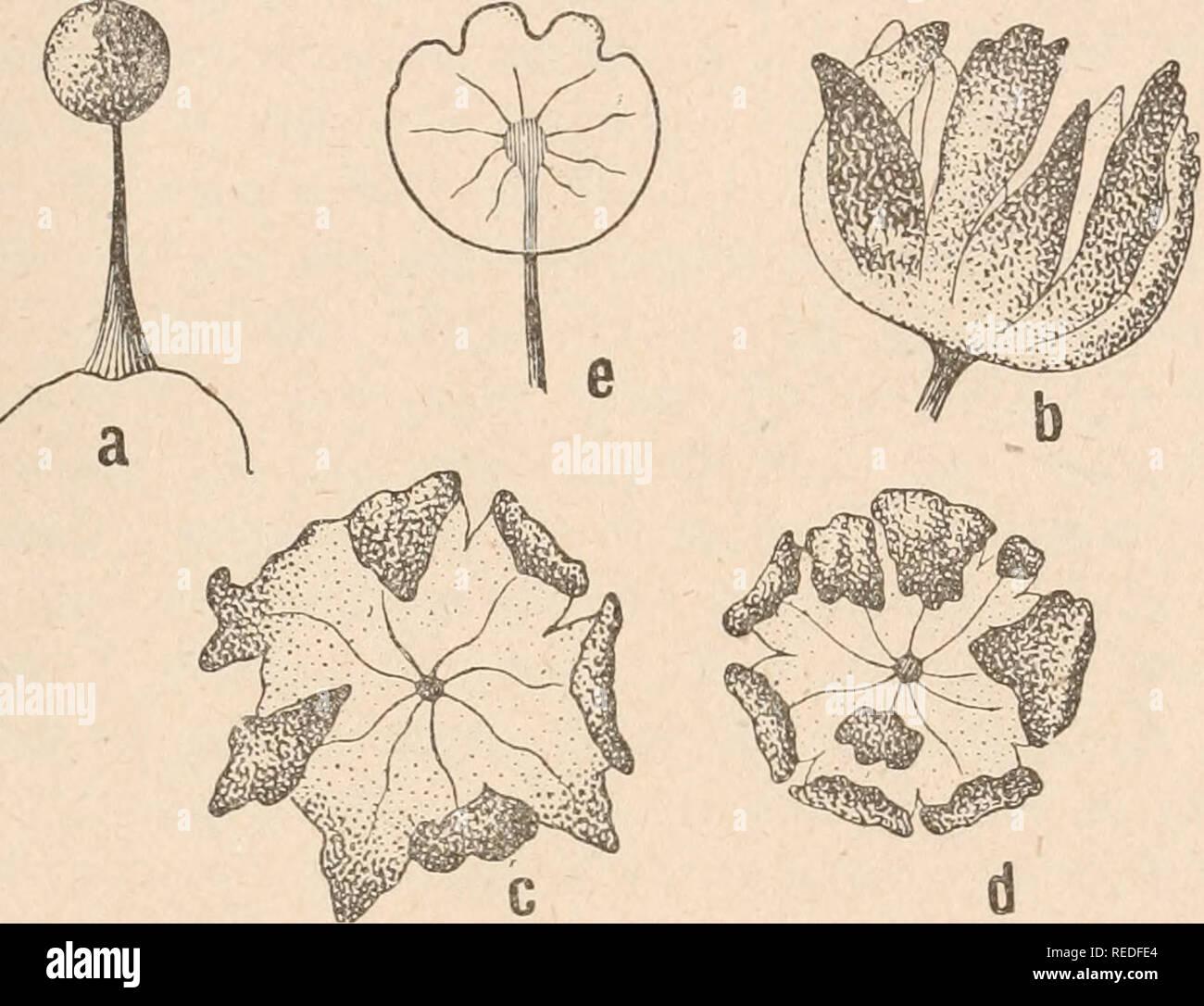 . Dr. L. Rabenhorst's Kryptogamen-Flora von Deutschland, Oesterreich und der Schweiz. Cryptogams -- Germany; Cryptogams -- Austria; Cryptogams -- Switzerland. 411 Columella lang, am obern Ende in 7 bis 10 einfache oder selten gegabelte, braune, straffe Capillitiumfäden ausstrahlend, die einzeln, selten zu zweien an den Peridielappen befestigt sind. Sporen im durchfallenden Lichte braun, warzig, seltener nahezu glatt, 7—9 ju. Schweiz (Jura: Chasseron, auf Lebermoosen wie Lophozia longiflora, L. longidens, Blepharostoma trichophyllum, bei 1400 ui; La Vaux, zwischen dem Chasserou und dem Creux-du - Stock Image