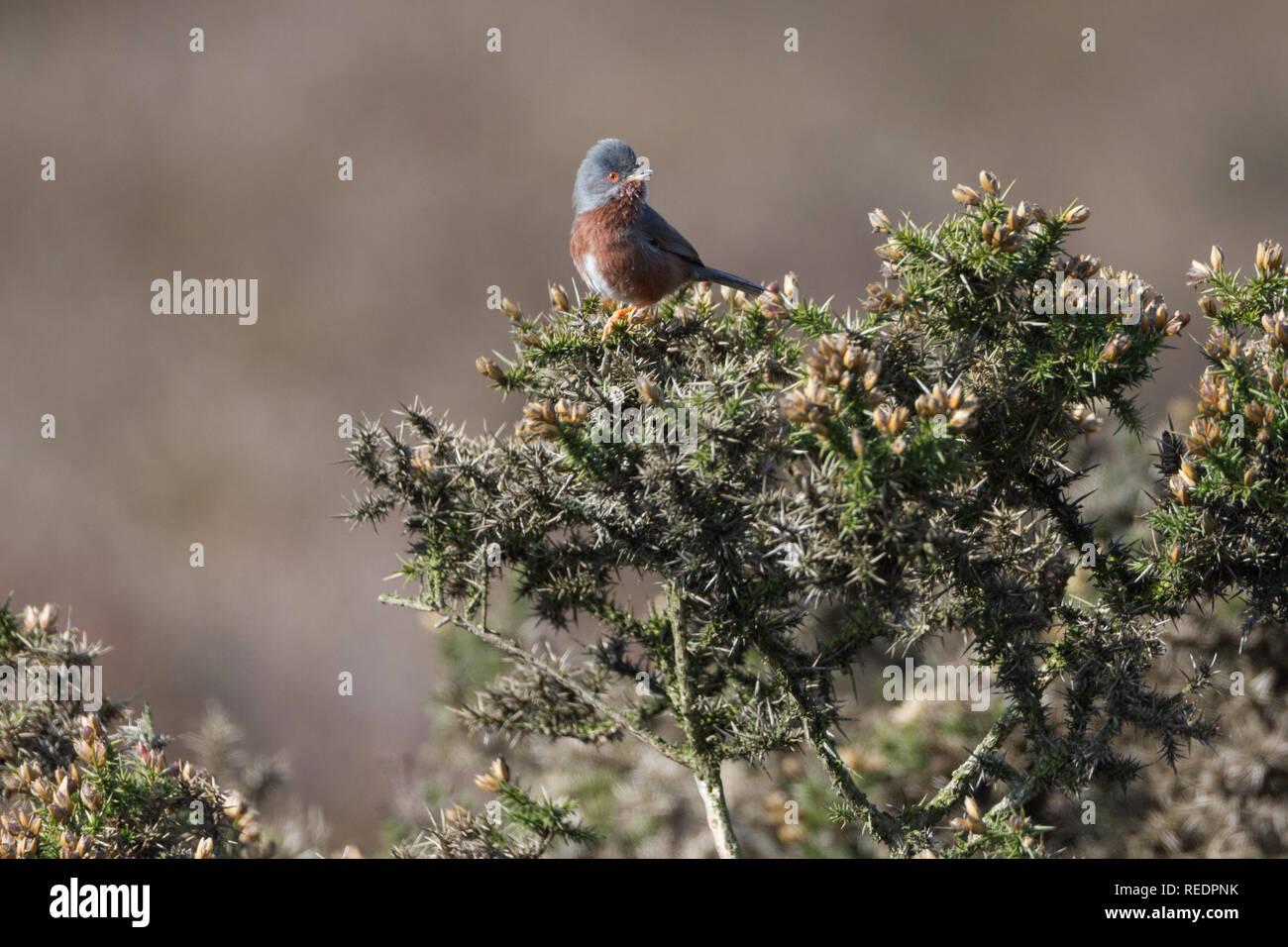 Dartford warbler (Sylvia undata) perched on vegetation on heathland in Wales. Stock Photo