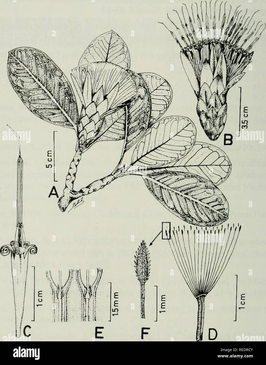. Compositae newsletter. Compositae. 10 Comp. Newsl. 39, 2003. Fig. 1. Stenopadus andicola Pruski. Illustration (based on Beltran 3333). A. Habit. B. Capitulum. C. Corolla, stamens, and style. D. Cypsela. E. Adaxial surface of corolla tube-lobe juncture, showing pilose hairs, two veins per lobe, and insertion of filaments near the sinus of the corolla lobes. F. Enlarged apical portion of pappus seta showing barbellate hairs.. Please note that these images are extracted from scanned page images that may have been digitally enhanced for readability - coloration and appearance of these illustrati - Stock Image