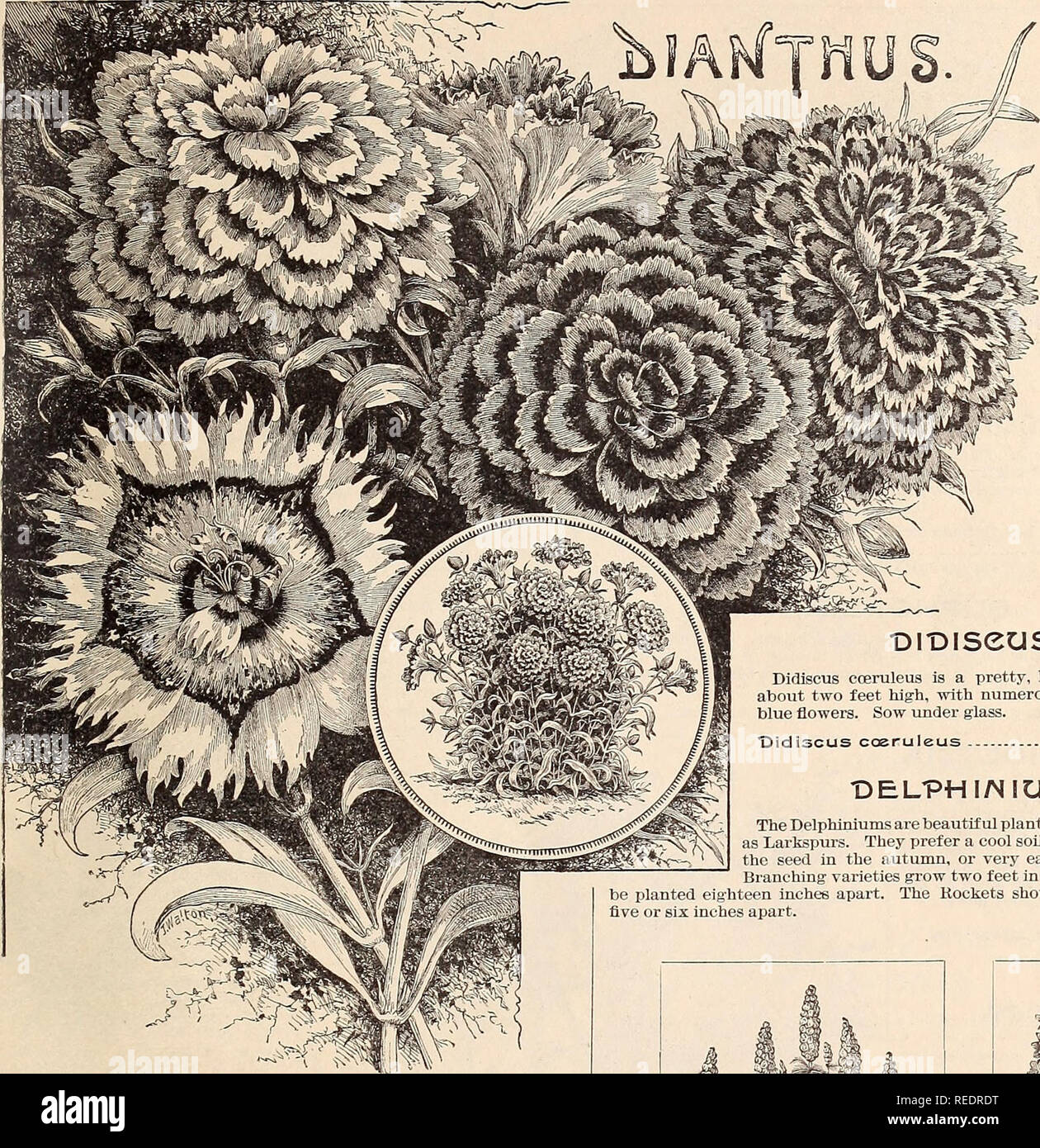 """. Compliments of the season. Seeds Catalogs; Flowers Catalogs; Bulbs (Plants) Catalogs; Fruit Catalogs. JAMES VICK SEEDSMAN, """"ROCHESTER, N. g. 13. DiDiseus. Didiscus coeruleus is a pretty, half-hardy annual, about two feet high, with numerous umbels of sky- blue flowers. Sow under glass. """"Didiscus cceruleus 10 The varieties of Dianthus known as Chinese Pinks and Japan Pinks are among the most brilliant of our garden flowers. Plants of the tall sorts are from twelve to fifteen inches in height; the dwarf make low, compact plants. Seed may be sown in the spring, under glass or in a see Stock Photo"""