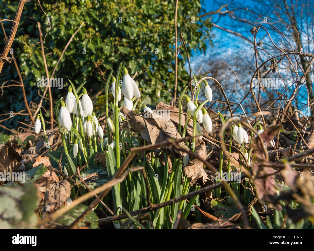 A group of wild snowdrops Galanthus in flower with surrounding leaf litter and a blue sky background Stock Photo