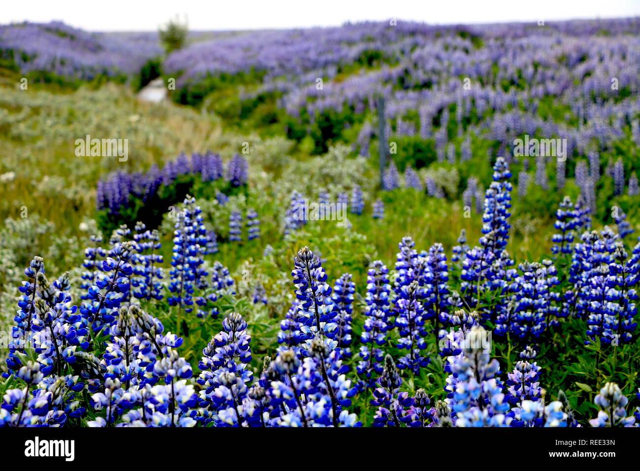Hügel mit blauen Lupinen und einem Bach Island Stock Photo