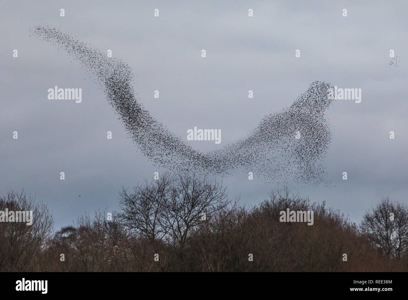 Evening starling murmuration over Avalon marshes wetlands nature reserve. - Stock Image