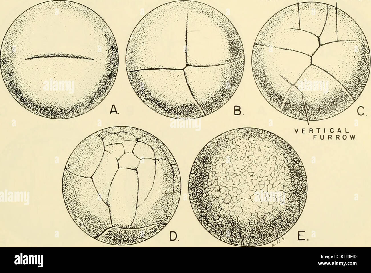 . Comparative embryology of the vertebrates; with 2057 drawings and photos. grouped as 380 illus. Vertebrates -- Embryology; Comparative embryology. TYPES OF CLEAVAGE 307 VERTICAL FURROW. Fig. 150. Cleavage in the egg of Lepidosiren paradoxa. (After Kerr, '09.) (A) Be- ginning of first cleavage, meridional in position. (B) Second cleavage planes, approxi- mately meridional in position. (C) Third cleavage planes vertical in position, demon- strating a typical meroblastic pattern. (D) Early biastula. (E) Late blastula. laden macromeres. The blastocoel is small in relation to the size of the egg  - Stock Image