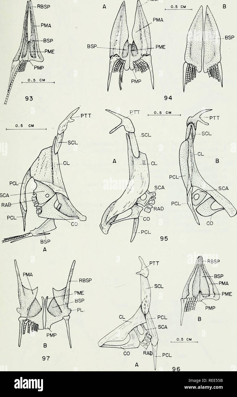 . The comparative osteology and phylogeny of the Anabantoidei (Teleostei, Pisces). Labyrinthici; Bones; Fishes. RBSP. 133. Please note that these images are extracted from scanned page images that may have been digitally enhanced for readability - coloration and appearance of these illustrations may not perfectly resemble the original work.. Liem, Karel F. Urbana, University of Illinois Press Stock Photo