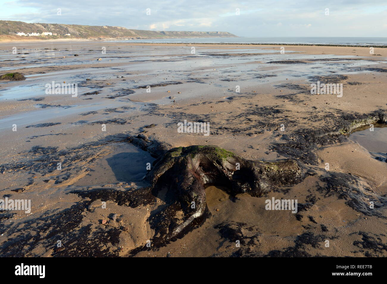Ancient forest tree trunks revealed at low tide Port Eynon Bay. Swansea are evidence of the rise in post glacial sea levels from climatic ice melt. Stock Photo